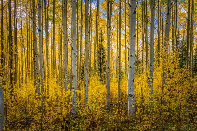 Fall Aspens -